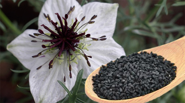 Black Seed (Nigella sativa): A cure for every disease - Featured Article
